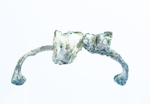 averys albino 510x354 1