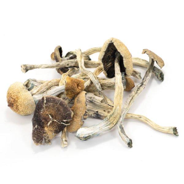 Amazonian Cubensis Mushrooms 600x600 1