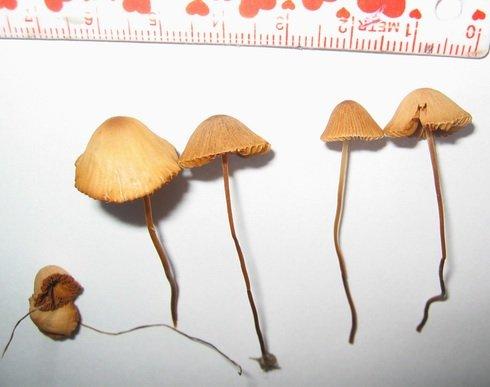 Where Do Magic Mushrooms Grow In Canada